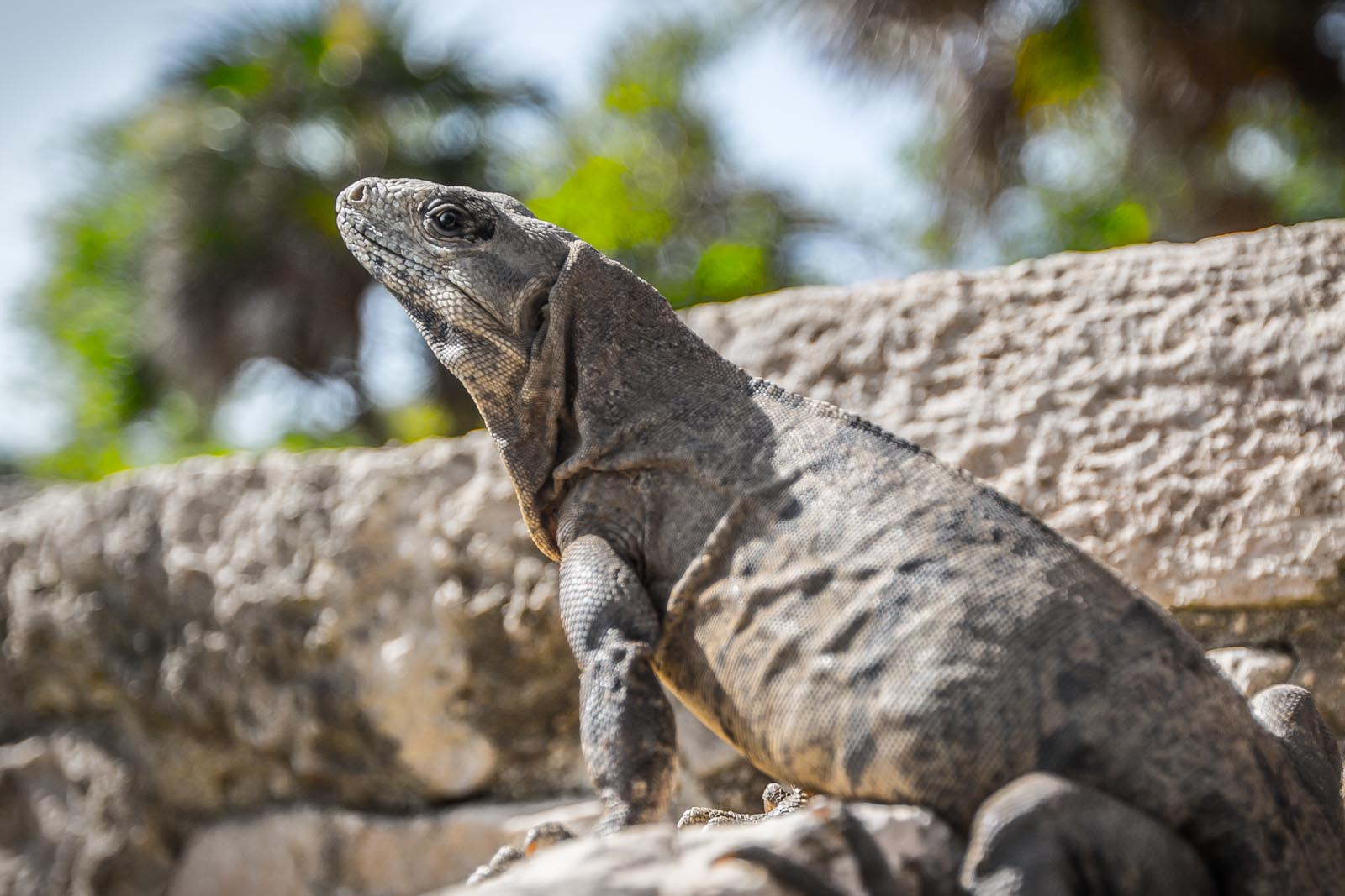 Proud, not so little, iguana hanging out at the ruins in Tulum.