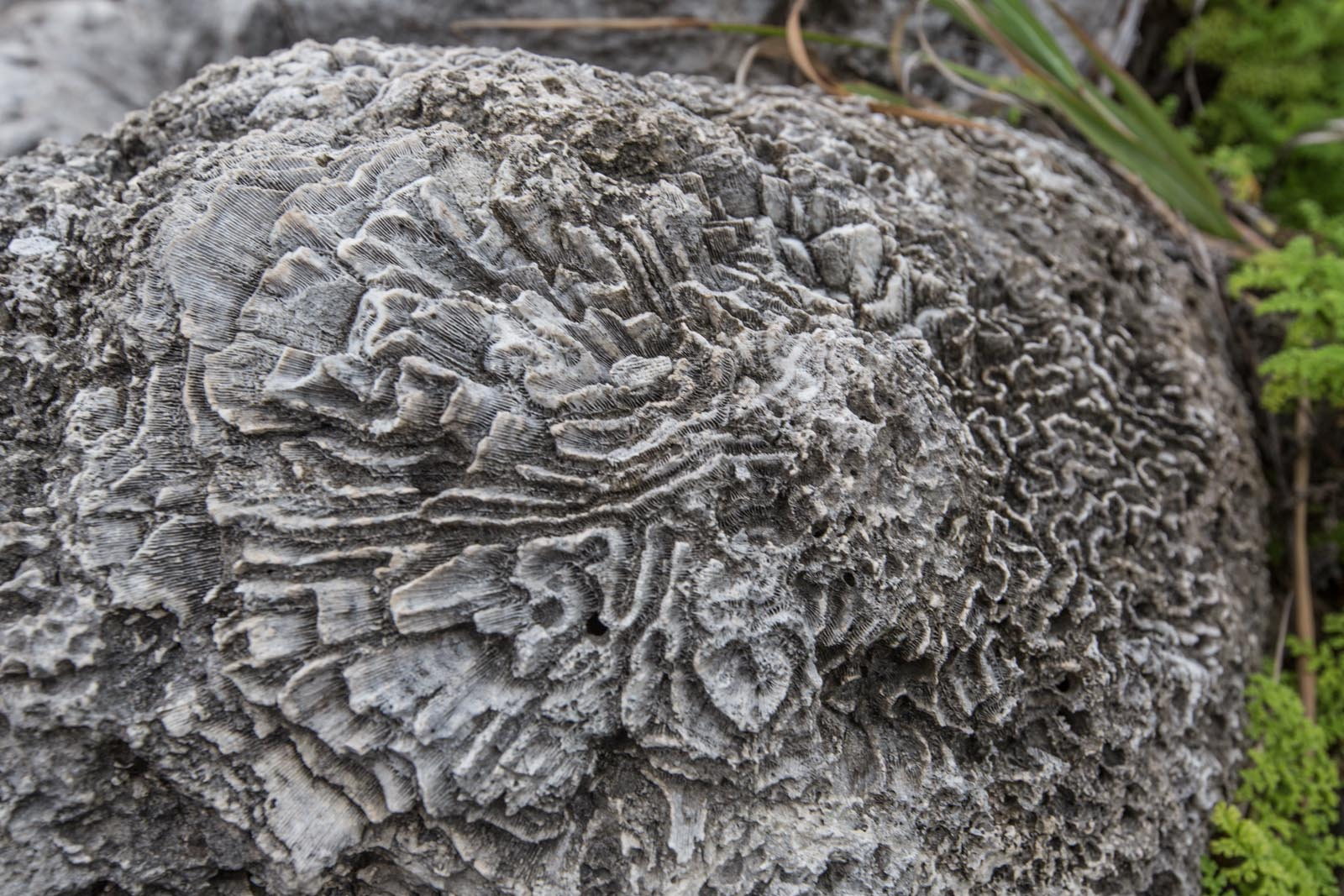 This is how your brain coral looks when its dead. Looks cool underwater too.
