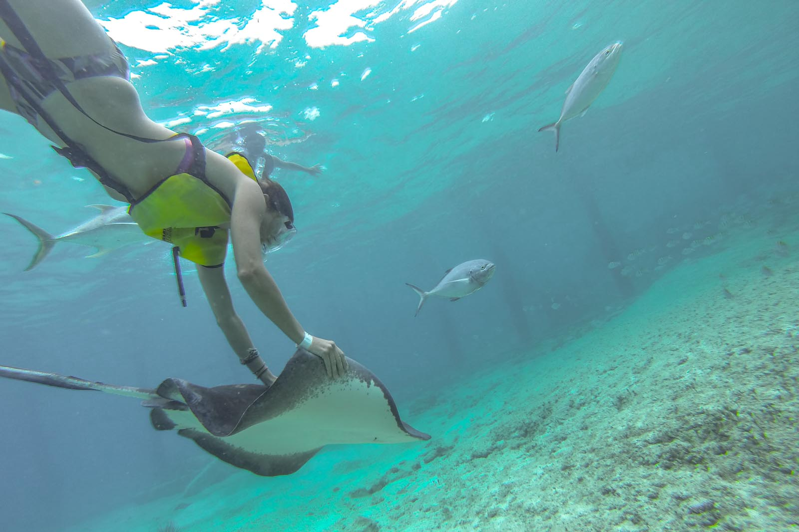 Grab and go stingrays. Not a wild one obviously, but at the Everybody Loves Rays, stingray encounter on Cozumel.