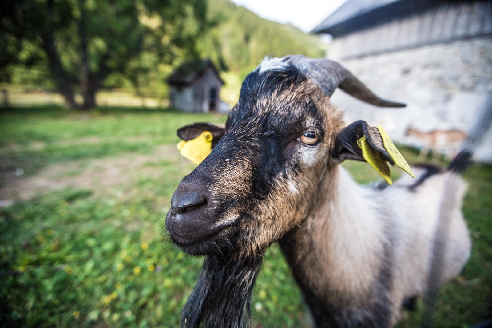A friendly billy goat.